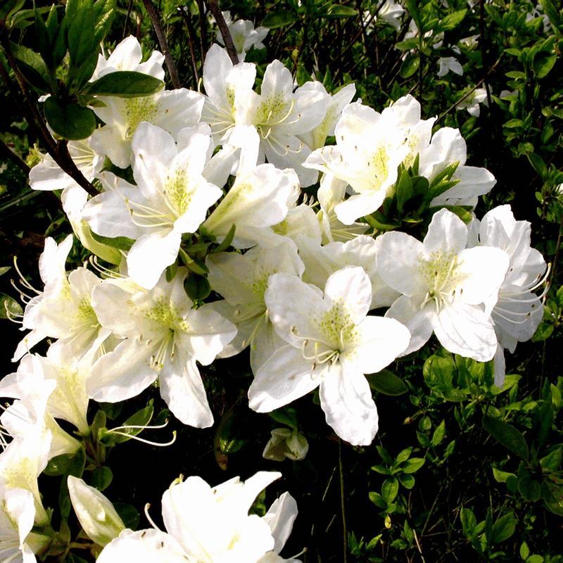 Azalea japonica wit for Azalea japonica