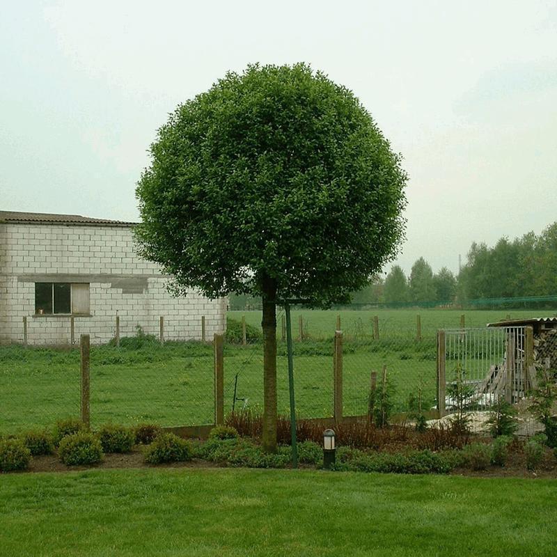 prunus fruticosa 39 globosa 39. Black Bedroom Furniture Sets. Home Design Ideas